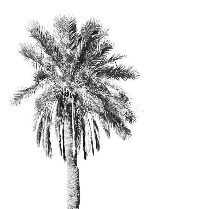 tropische palm in Marokko Afrika alleen en de hemel royalty-vrije stock foto