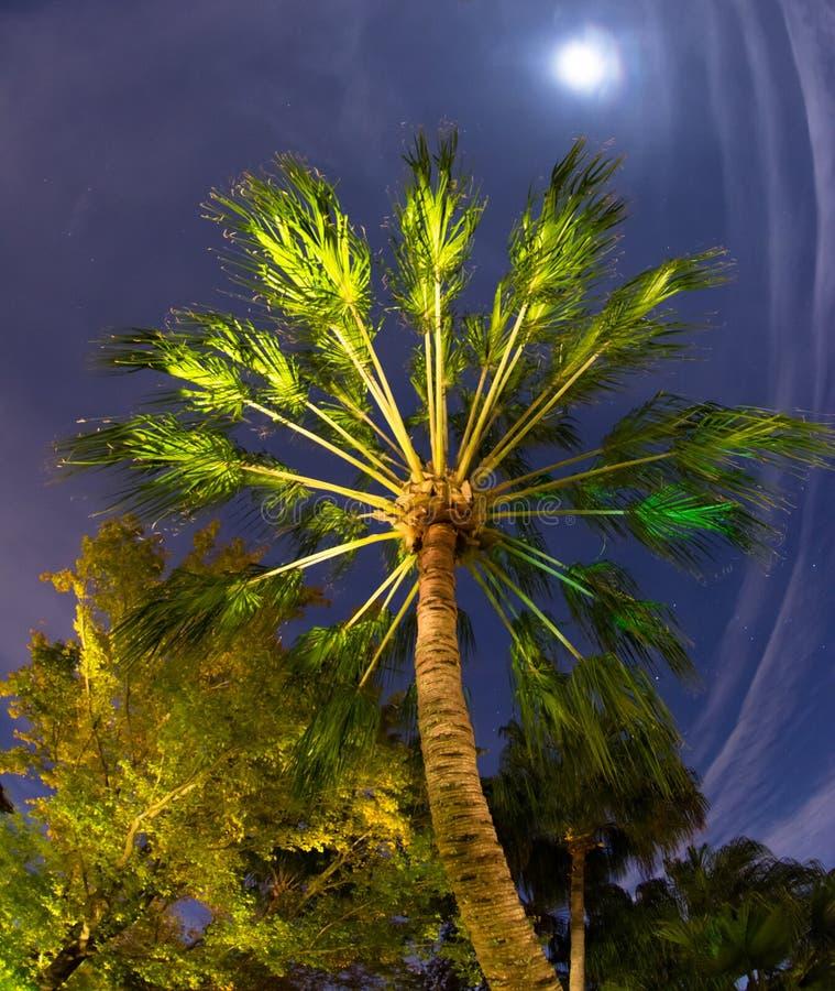 Tropische Palme im Mondschein stockfoto