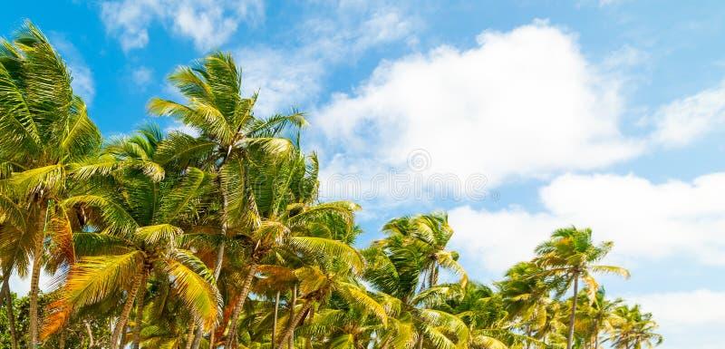 Tropische Palmen unter einem blauen Himmel in Guadeloupe lizenzfreie stockfotografie