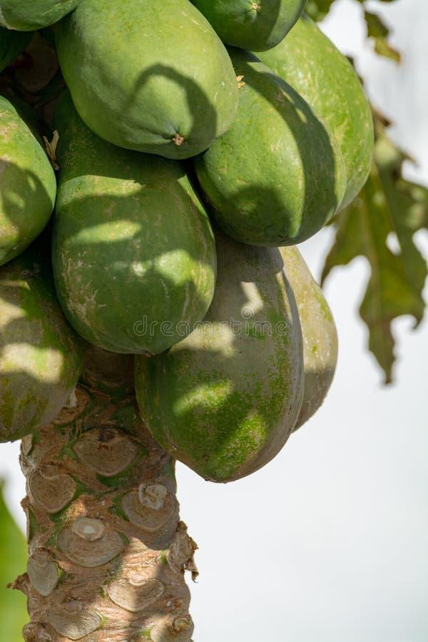 Tropische papajavruchten die op papajaboom hangen, exotisch voedsel stock afbeelding