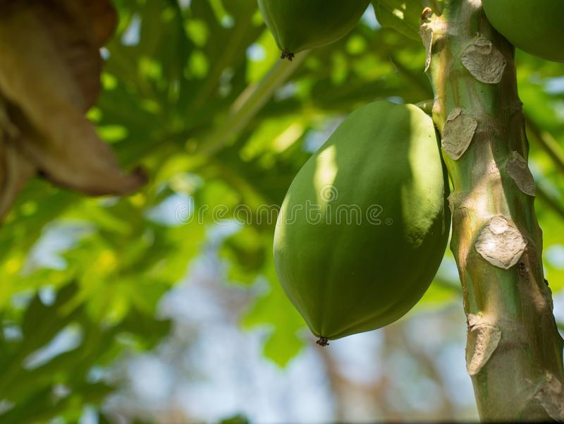 Tropische papajavruchten die op papajaboom hangen, exotisch voedsel royalty-vrije stock foto