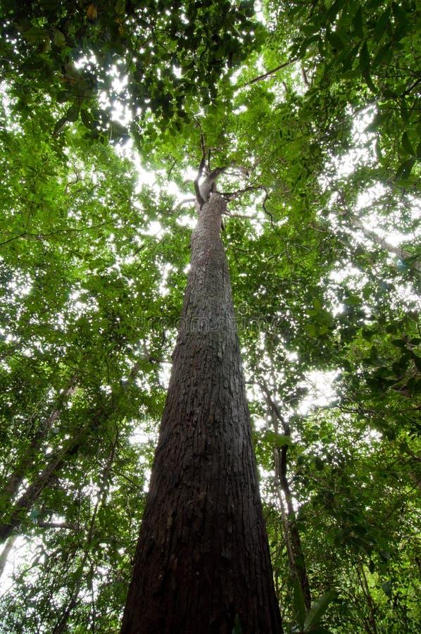 Tropische regenwoudboom royalty-vrije stock fotografie