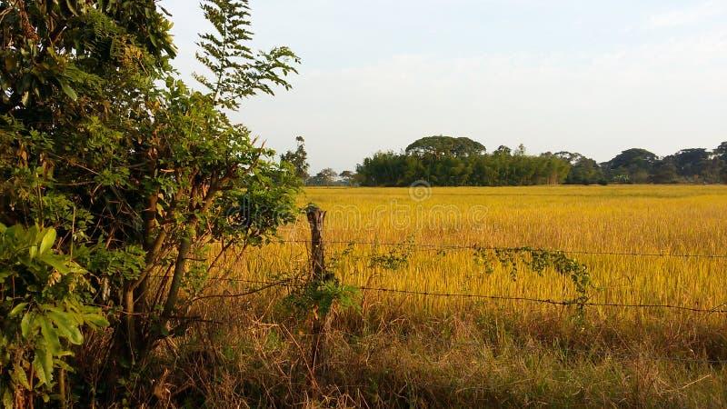 Tropische Reis-Ernte stockbild