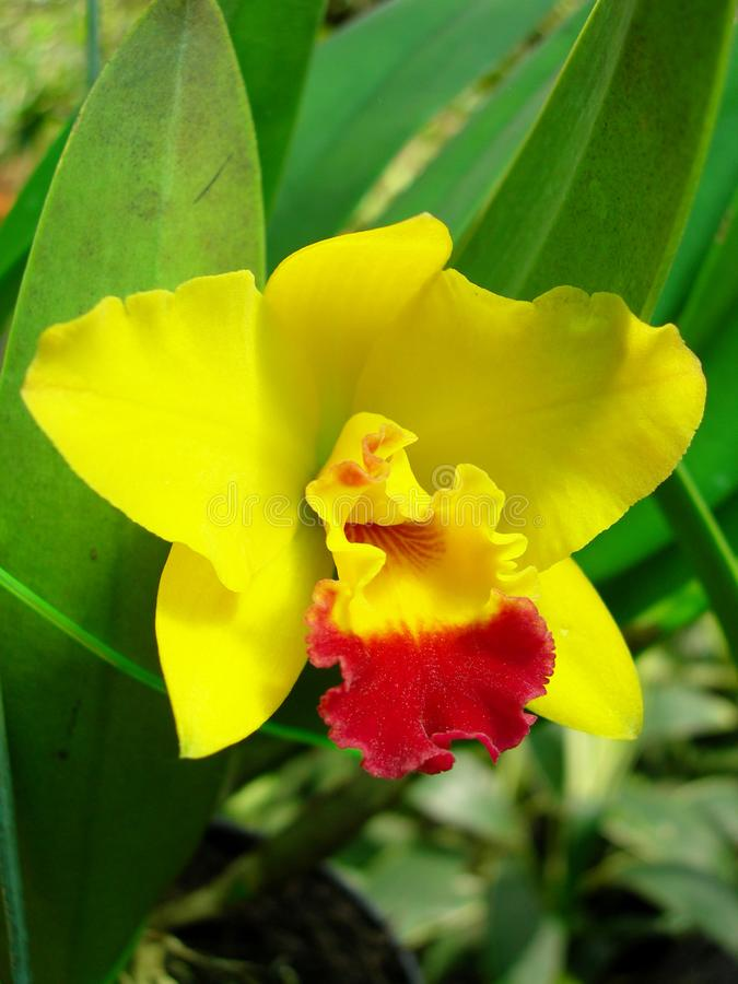 Tropische Reuzeorchidee Cattleya SP royalty-vrije stock foto