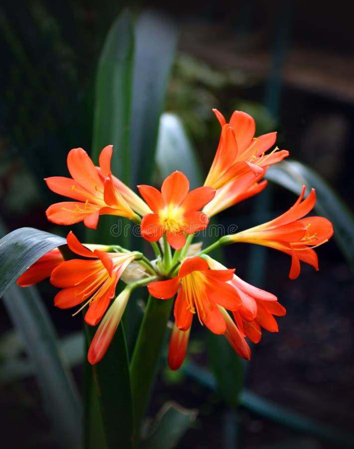 Tropische rode bloem royalty-vrije stock afbeelding