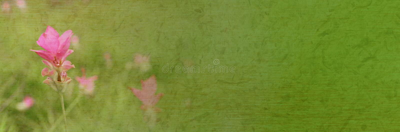 Tropische rosa Blume Siam-Tulpe (Sommer-Tulpe oder Kurkuma) in der weichen und unscharfen Art stockfoto