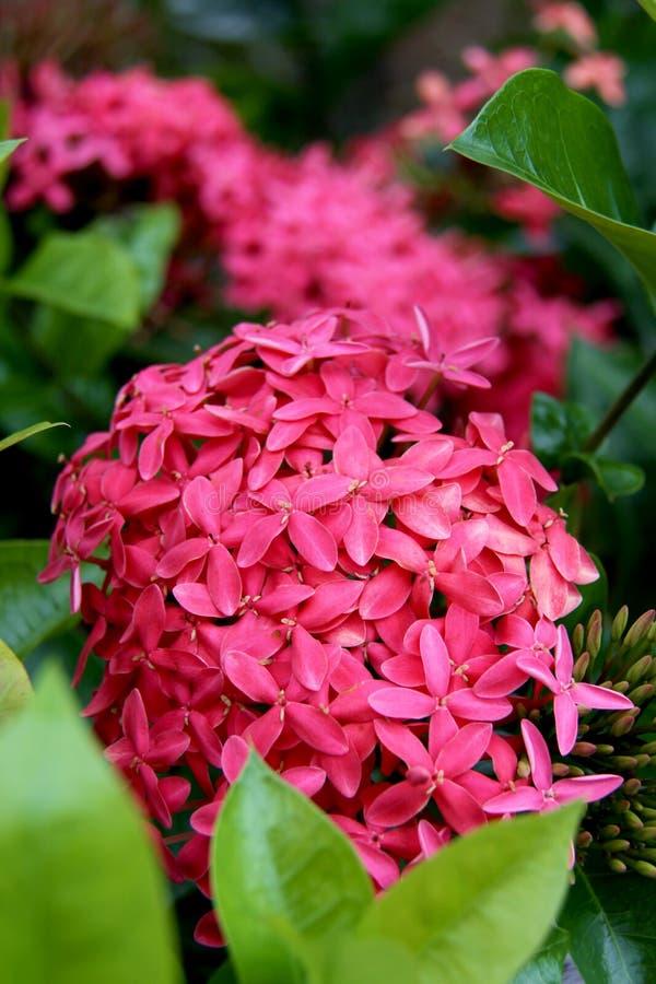 Tropische roze struikbloemen stock foto
