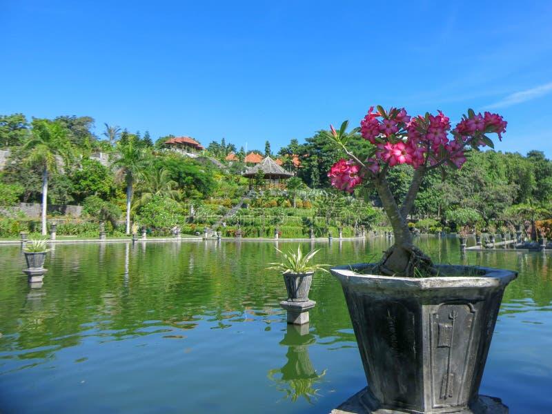 Tropische siertuin met groot zwembad Jonge plant roze frangipani Cascadeterrassen met vegetatie Reflectio stock afbeeldingen