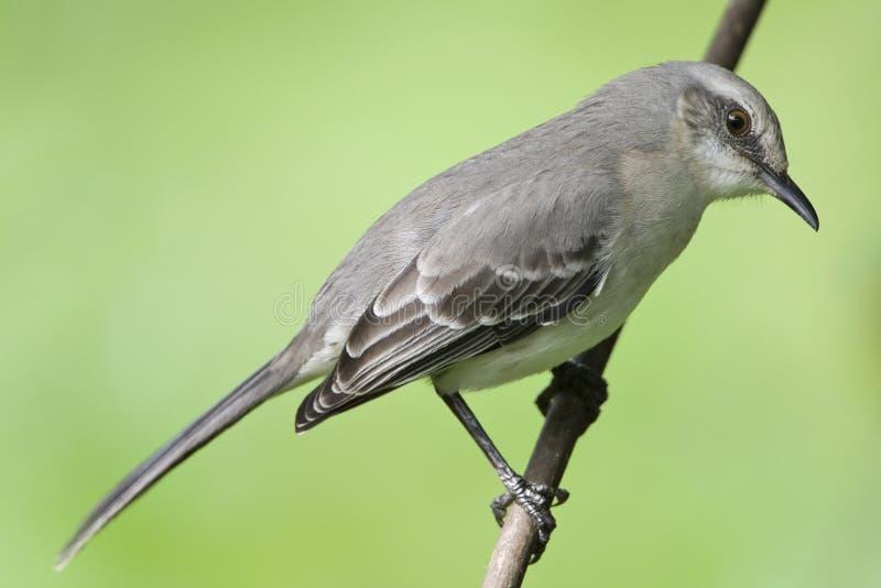 Tropische Spotlijster, tropisk härmfågel, Mimusgilvus royaltyfri fotografi