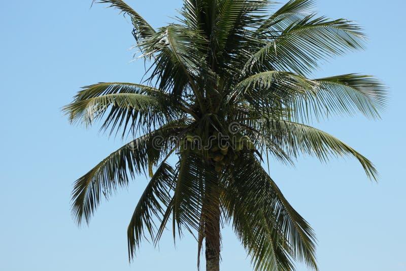 Tropische StrandPalme mit Kokosnüssen stockbild