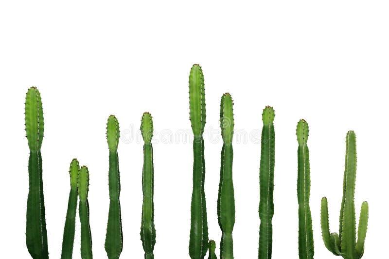 Tropische succulente de cactuswolfsmelk Ingens van de installatiecowboy isolat royalty-vrije stock foto's