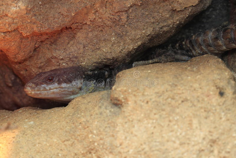 Tropische umgegürtelte Eidechse stockfoto