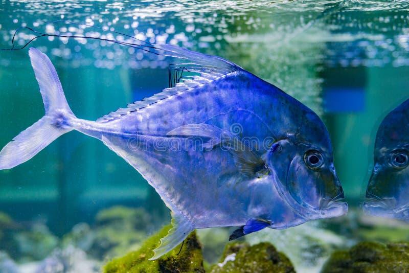 het aquarium het zoutwater met tropische vissen stock
