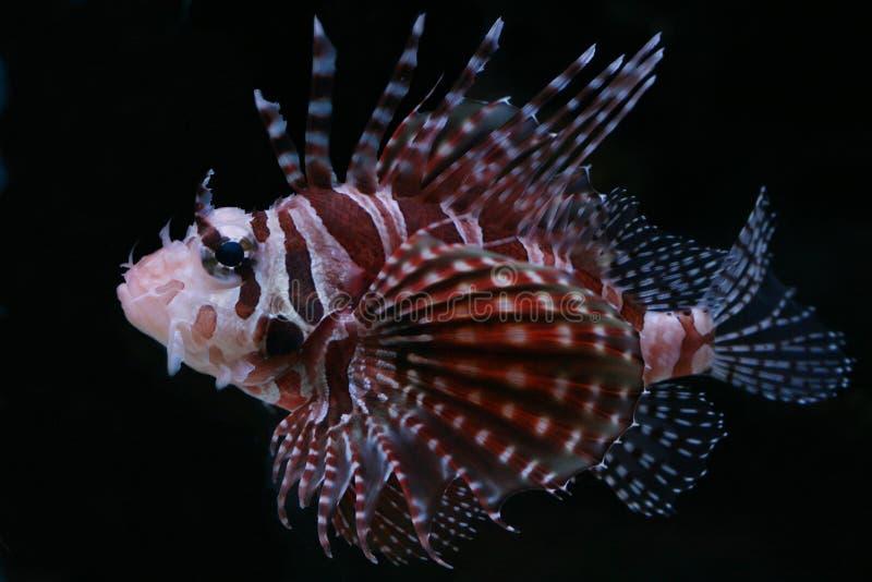 Tropische vissen â21 royalty-vrije stock foto