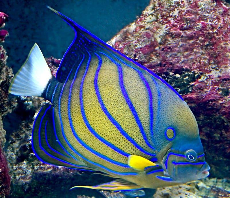 Tropische vissen 24 stock afbeelding