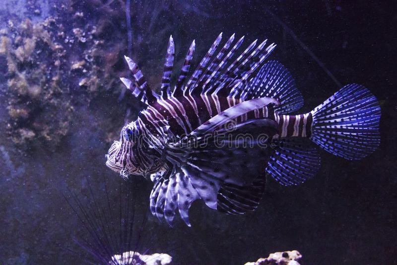 Tropische vissen in het aquarium stock fotografie