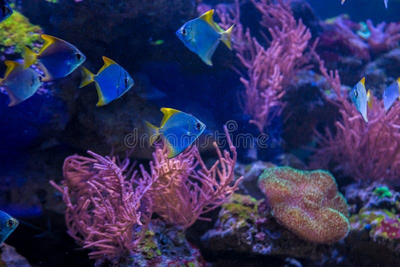 Tropische vissen met koralen en algen in blauw water royalty-vrije stock foto