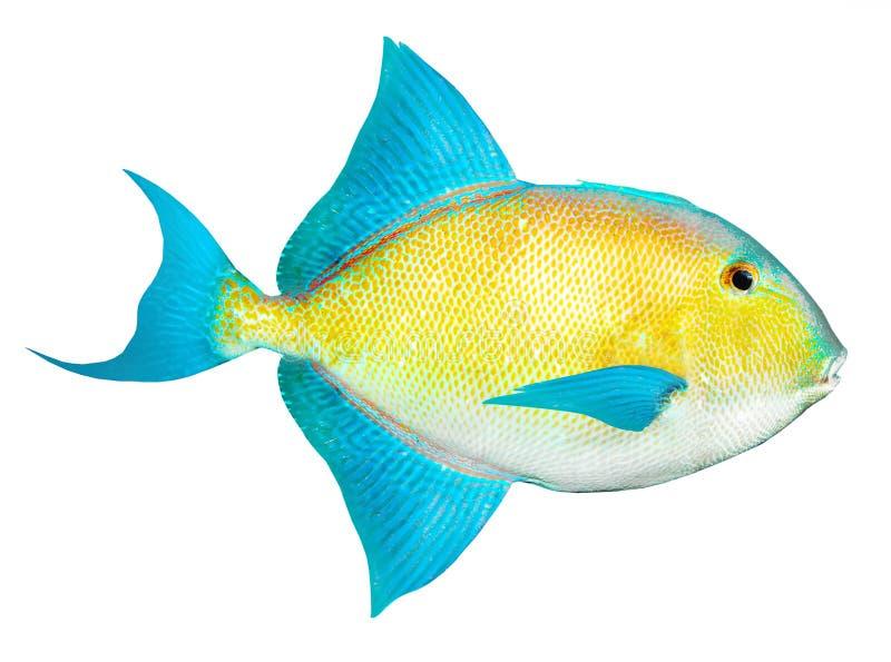 Tropische vissen van Caraïbische overzees. royalty-vrije stock afbeeldingen