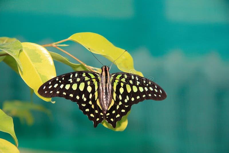 Tropische vlinder royalty-vrije stock afbeelding