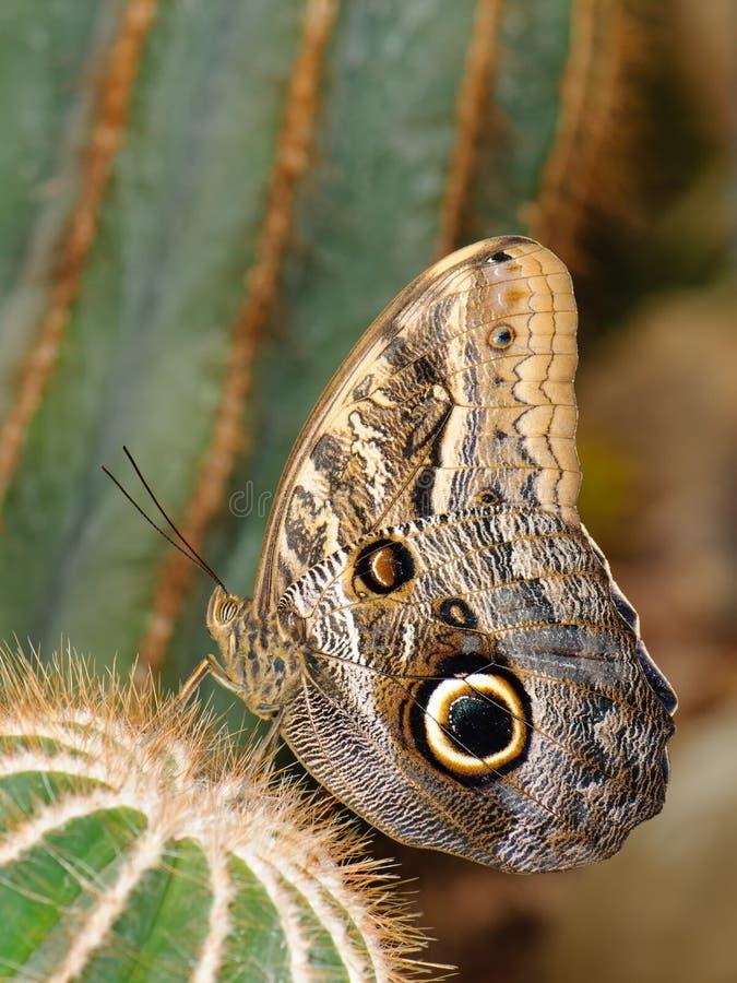 Tropische vlinder op cactus stock fotografie