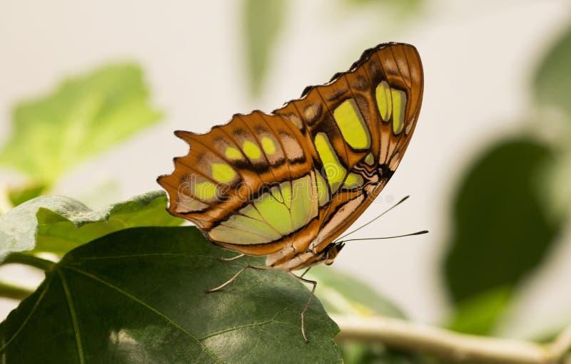 Tropische vlinder Siproeta stelenes, malachiet royalty-vrije stock foto's