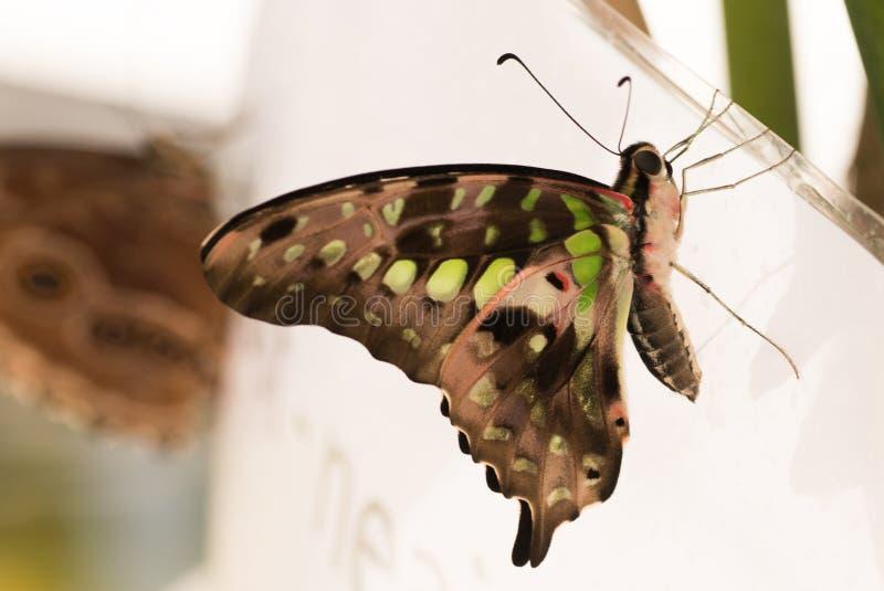 Tropische vlinder Siproeta stelenes, malachiet stock foto