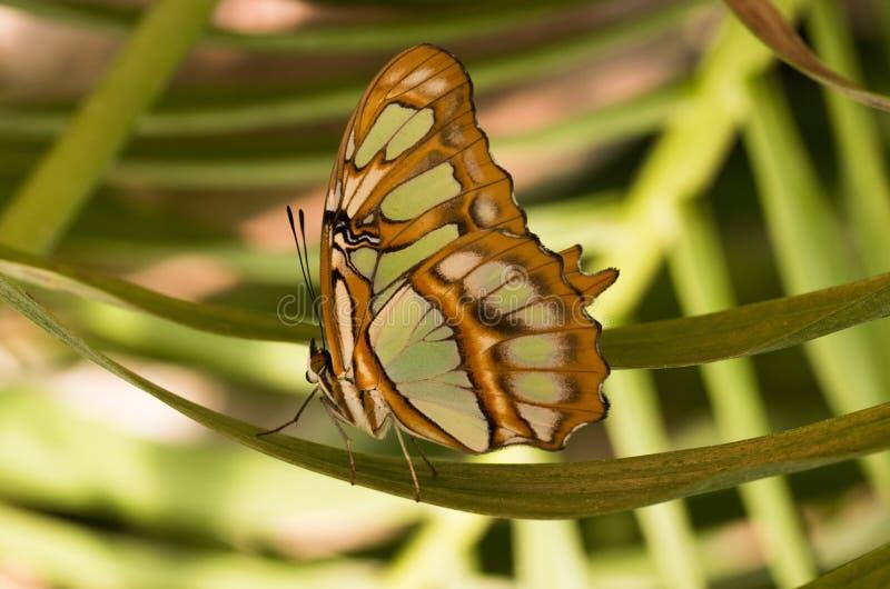 Tropische vlinder Siproeta stelenes, malachiet royalty-vrije stock afbeeldingen