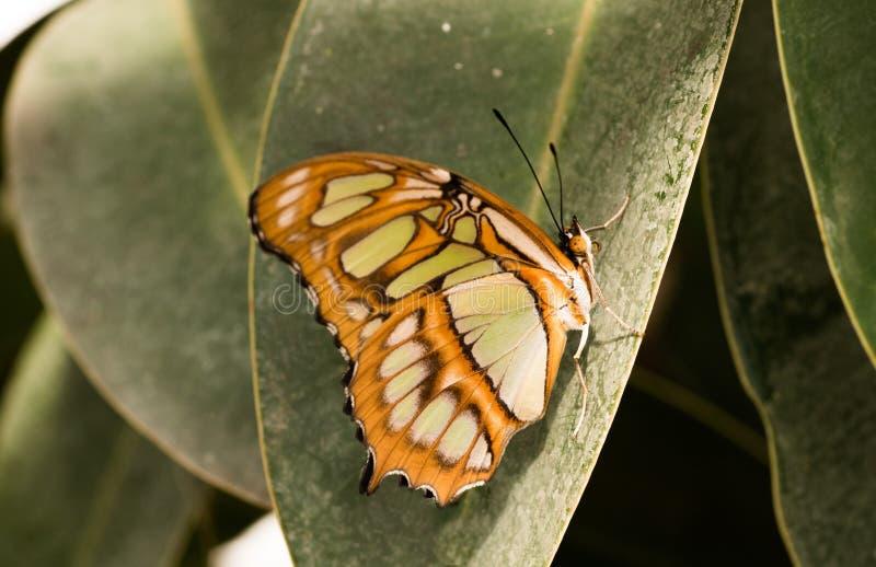 Tropische vlinder Siproeta stelenes, malachiet stock afbeeldingen