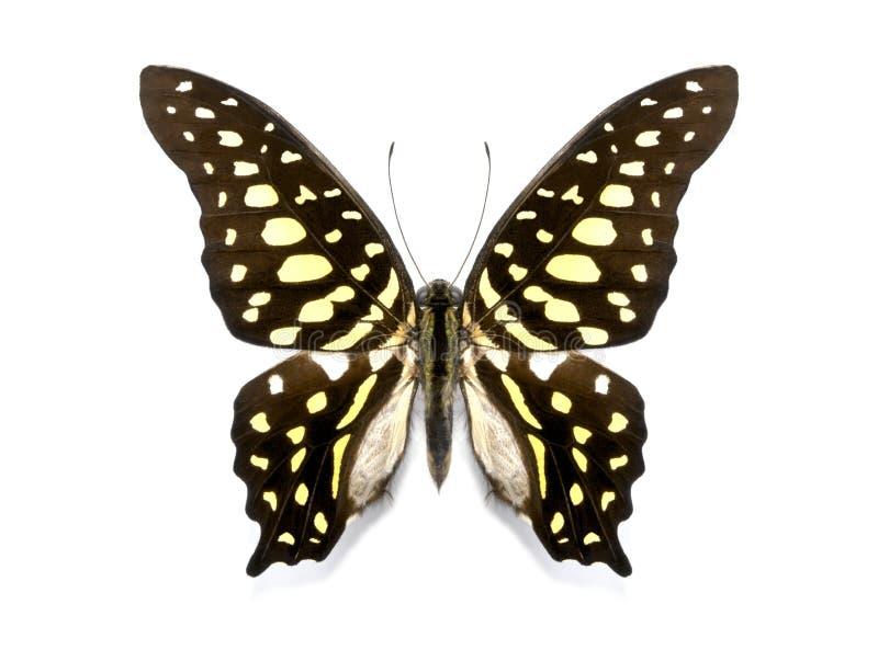Tropische vlinderinzameling Graphium agamemnon stock foto's