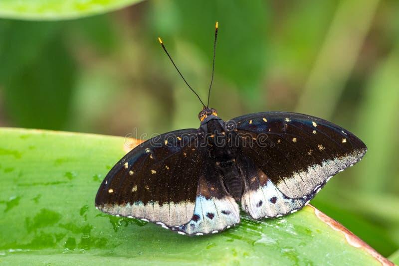 Tropische vlinderzitting op een blad stock foto's