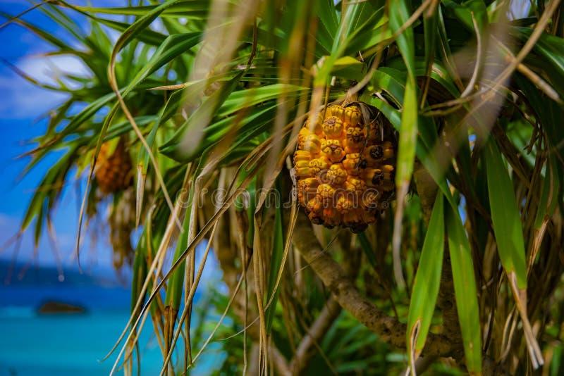 Tropische vruchten bij Ohama-strand in Amami-oshima Kagoshima royalty-vrije stock foto's