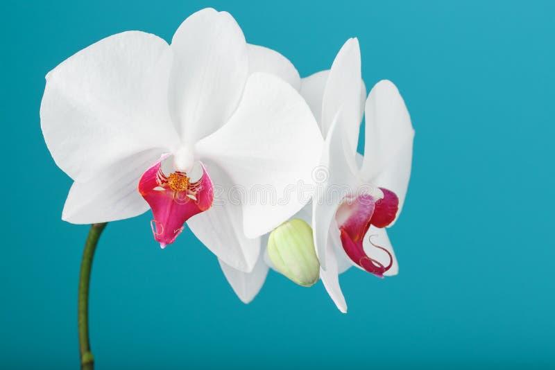 Tropische witte Orchidee op een blauwe achtergrond Beschikbare ruimte, exemplaar-Ruimte stock fotografie