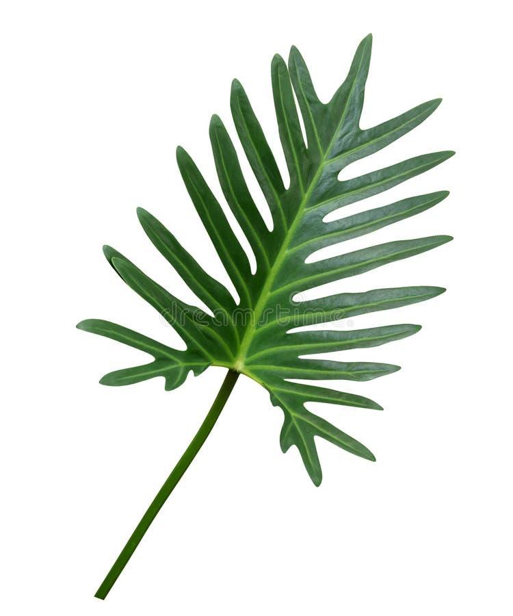 Tropische Zierpflanze grünen Philodendron Xanadu-Blattes lokalisiert auf weißem Hintergrund, Weg lizenzfreie stockfotos
