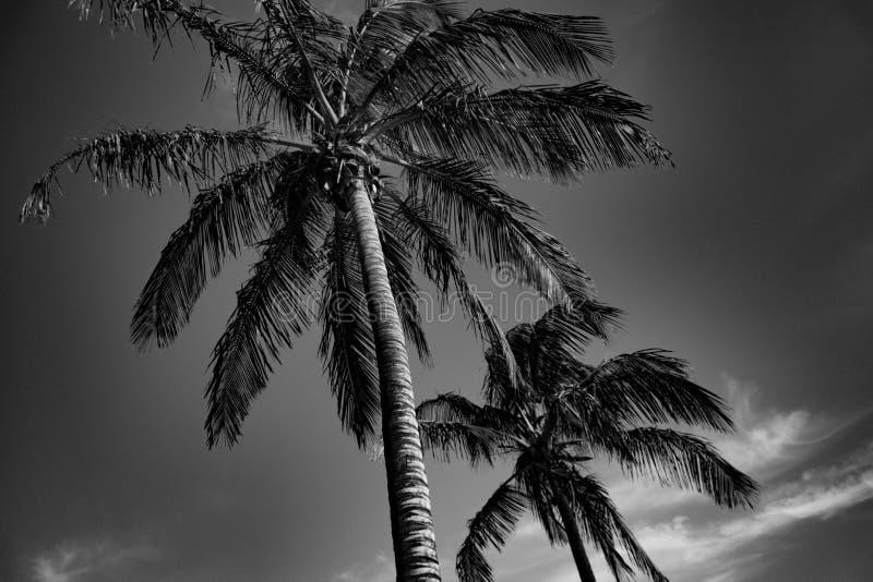 Tropische zwart-witte palmen stock foto's