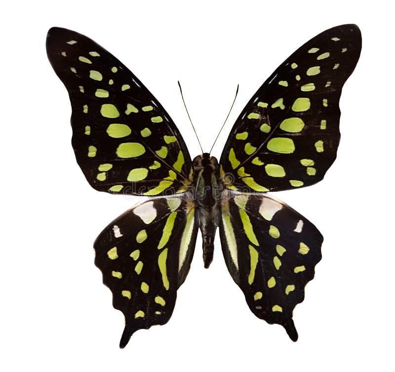 Tropische zwarte en groene vlinder stock foto's