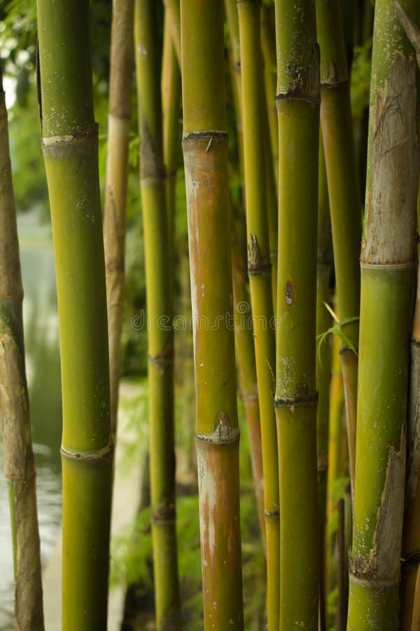 Tropischer Bambus stockfotografie