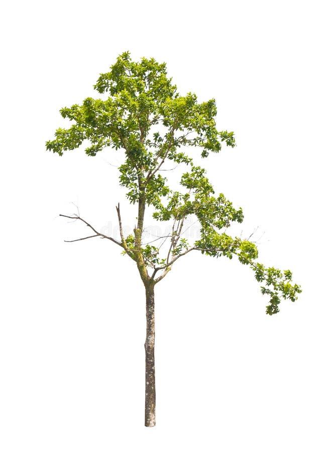 Tropischer Baum in Asien. stockbild