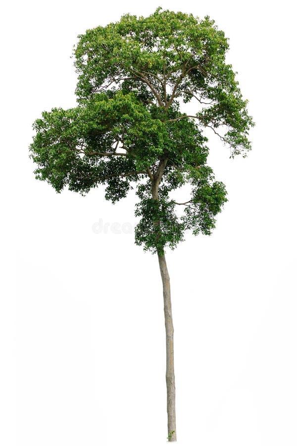 Tropischer Baum getrennt lizenzfreie stockfotografie