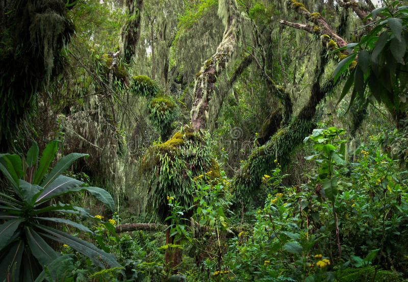 Tropischer Baum im Ruanda-Regenwald lizenzfreie stockbilder