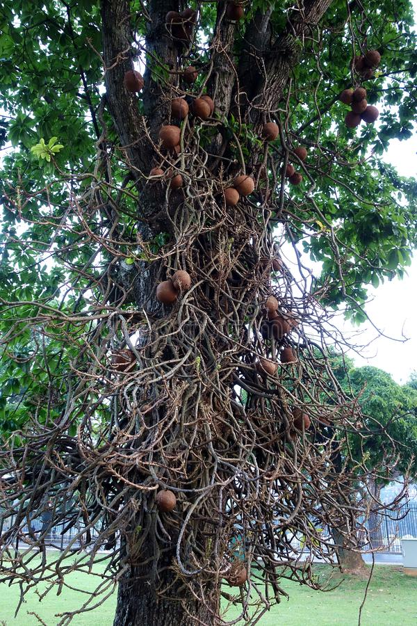 Tropischer Baum voll von den Reben und von den Kürbissen lizenzfreies stockbild