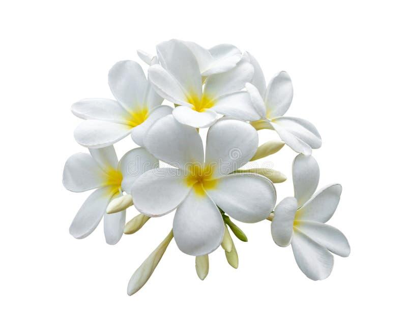 Tropischer Blumen Frangipani Plumeria lokalisiert auf weißem backgro stockfoto