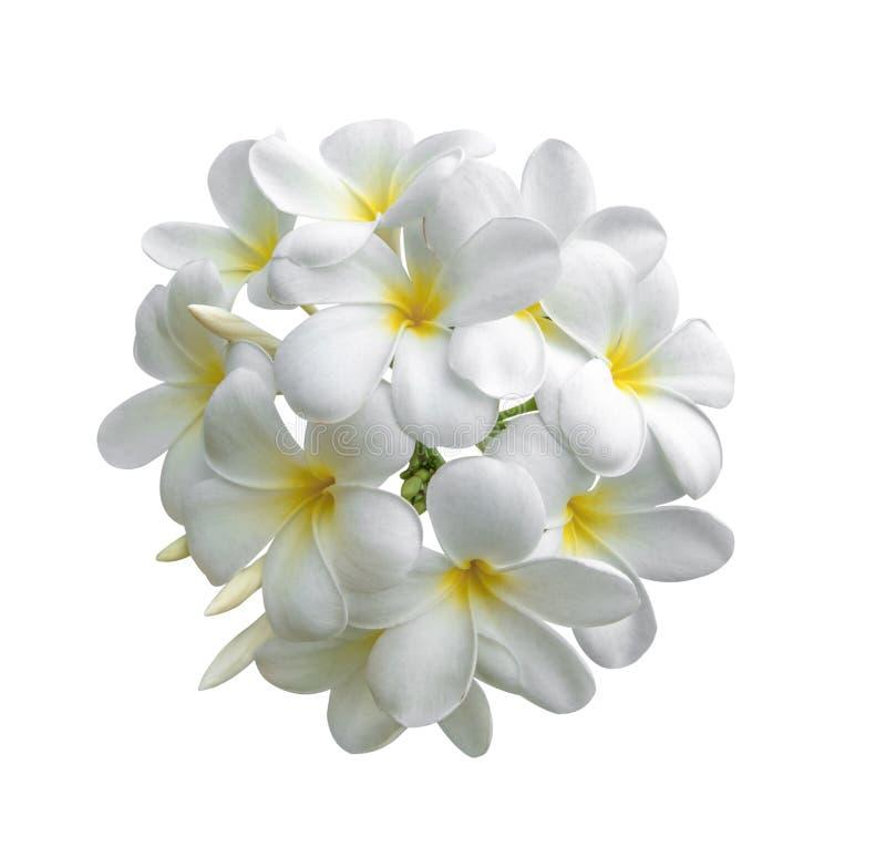 Tropischer Blumen Frangipani Plumeria lokalisiert auf weißem backgro lizenzfreie stockfotos