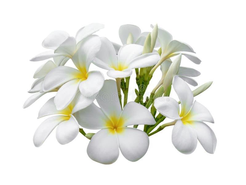 Tropischer Blumen Frangipani Plumeria lokalisiert auf weißem backgro lizenzfreies stockbild