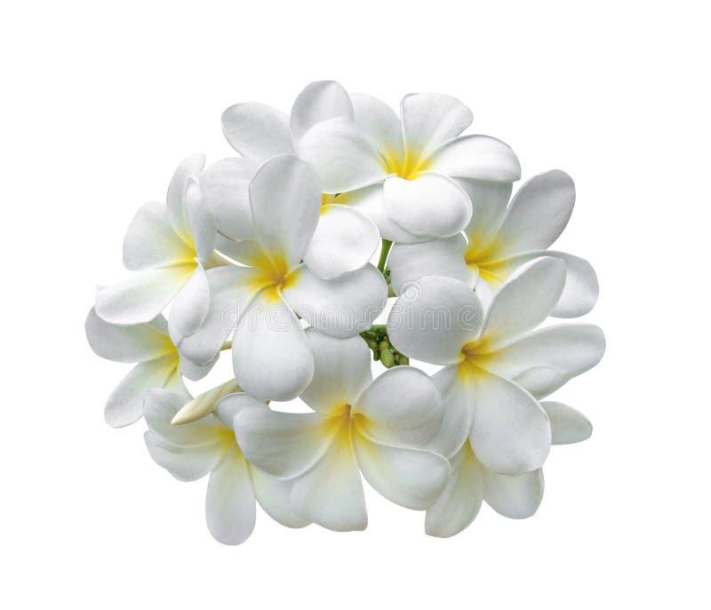 Tropischer Blumen Frangipani Plumeria lokalisiert auf weißem backgro stockfotos