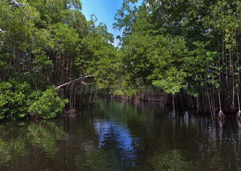 Tropischer Dickichtmangrovenwald auf dem schwarzen Fluss. lizenzfreie stockbilder