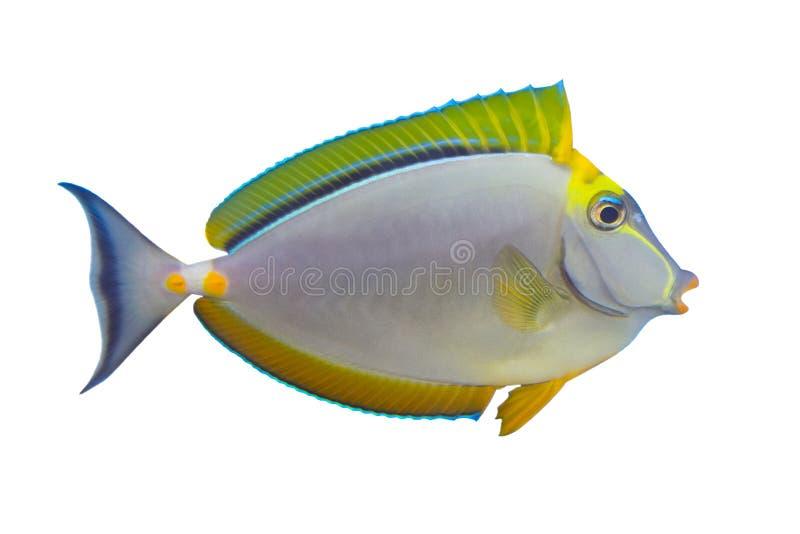 Tropischer Fische Naso Zapfen stockbilder