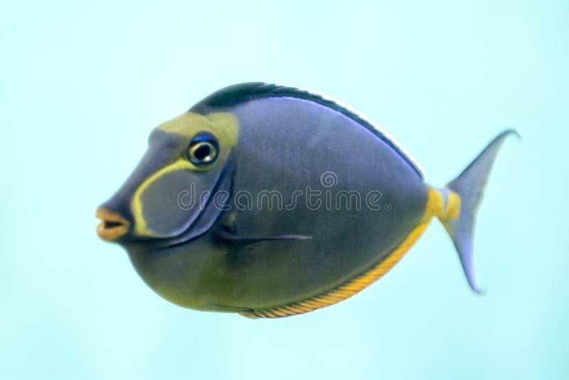Tropischer Fische Naso Zapfen lizenzfreie stockbilder