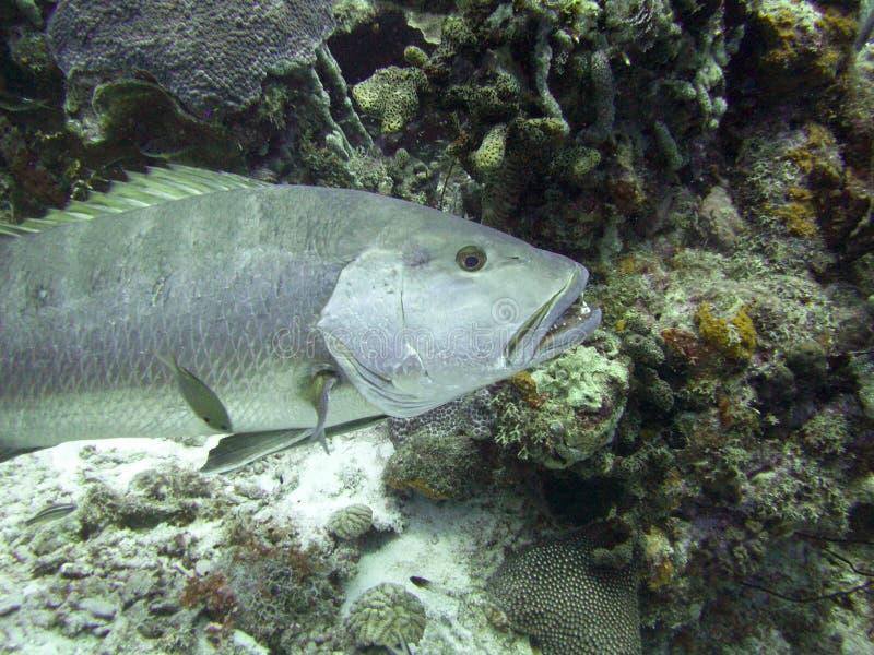 Tropischer FischGrouper an einem Korallenriff stockfoto