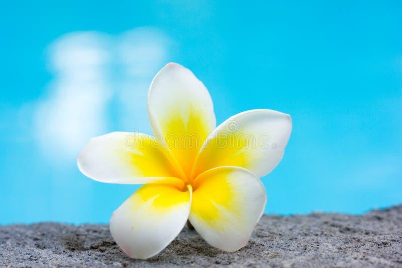 Tropischer Frangipaniblumen- und -swimmingpool lizenzfreie stockfotos