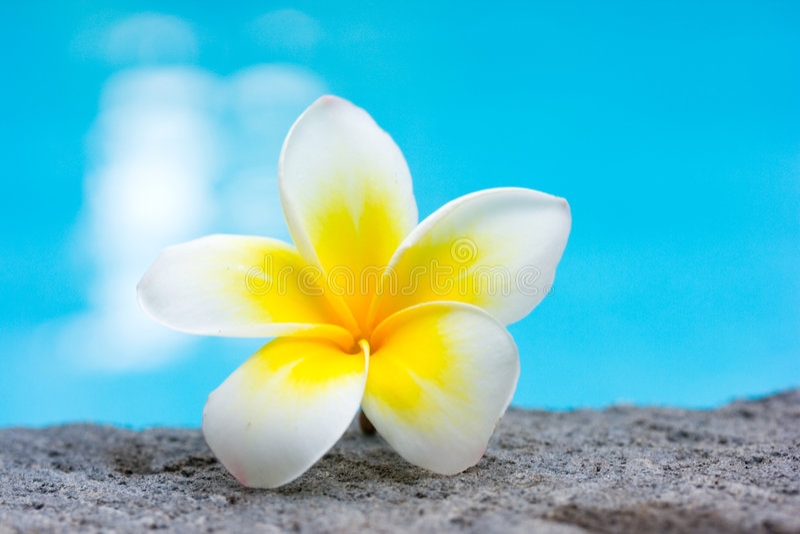 Tropischer Frangipaniblumen- und -swimmingpool stockfoto